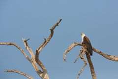 The African Fish Eagle Royalty Free Stock Images