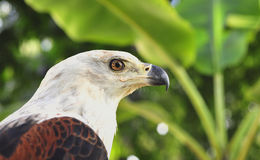 The African Fish Eagle (Haliaeetus vocifer) Portrait of an  African Fish Eagle Stock Images