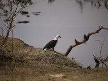 African fish eagle. (Haliaeetus vocifer) in South Luangwa National Park, Zambia Royalty Free Stock Images
