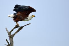 African Fish Eagle (Haliaeetus vocifer) stock photography