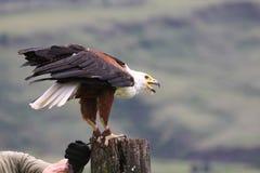 African fish eagle (haliaeetus vocifer) on tree tr Stock Image