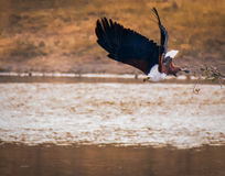 African Fish Eagle. On the hunt. Take off Stock Photography