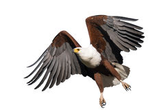 African Fish Eagle isolated stock photos
