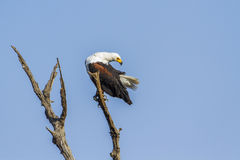 African fish eagle in Kruger National park Stock Images