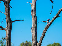 African fish eagle landing on dry tree branch with blue sky. Looking similar to tree branch color Royalty Free Stock Photography