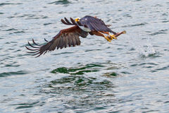 African Fish Eagle Lifting Fish From Lake. An African Fish Eagle lifting a Tilapia fish from the surface of Lake Victoria.  As its powerful wings lift the Eagle Stock Photography