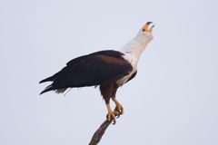African fish eagle lifting head to squawk Stock Photos