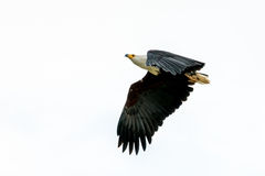 African Fish-eagle in mid flight Royalty Free Stock Photo