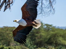 African Fish-eagle Royalty Free Stock Photography