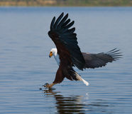 African Fish Eagle at the moment the attack on the prey. Kenya. Tanzania. Safari. East Africa. An excellent illustration Stock Image
