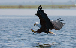 African Fish Eagle at the moment the attack on the prey. Kenya. Tanzania. Safari. East Africa. An excellent illustration Stock Images
