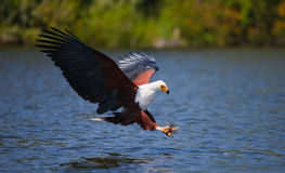 African Fish Eagle at the moment the attack on the prey. Kenya. Tanzania. Safari. East Africa. An excellent illustration Stock Photos