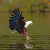African Fish Eagle at the moment the attack on the prey. Kenya. Tanzania. Safari. East Africa. An excellent illustration Royalty Free Stock Photo