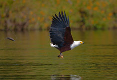 African Fish Eagle at the moment the attack on the prey. Kenya. Tanzania. Safari. East Africa. An excellent illustration Royalty Free Stock Image