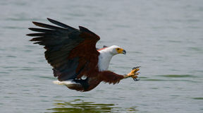 African Fish Eagle at the moment the attack on the prey. Kenya. Tanzania. Safari. East Africa. An excellent illustration Stock Photography