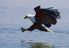 African Fish Eagle at the moment the attack on the prey. Kenya. Tanzania. Safari. East Africa. Stock Images