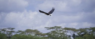 Eagle Flying in the Sky. African Fish Eagle in Naivasha, Kenya, Africa Royalty Free Stock Photography
