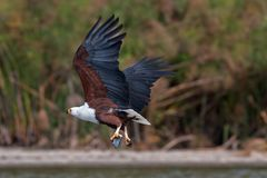 African Fish Eagle. In national park in Kenya royalty free stock photography