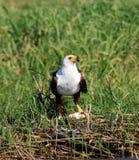 African fish eagle Stock Photos