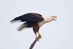 African fish eagle opening beak to squawk Royalty Free Stock Photos
