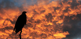 The African Fish - Eagle over the flaming horizon Stock Photos
