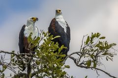 African fish eagle pair treetop stock images