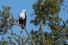 African fish eagle. Perched on a big tree in Kenya Stock Photo