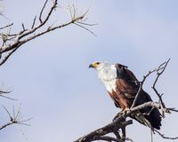 African fish eagle perched high in tree stock images