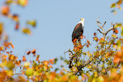 African Fish Eagle, Perching royalty free stock photos