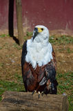 African Fish Eagle Perching on Log Stock Images