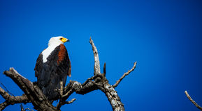 African Fish Eagle. Royalty Free Stock Photos