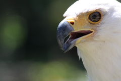 African fish eagle. A picture of an african fish eagle stock photography