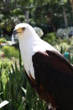 African fish eagle. A picture of an african fish eagle royalty free stock photo