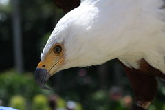 African fish eagle. A picture of an african fish eagle royalty free stock image