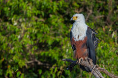 African Fish Eagle Portrait. An African Fish Eagle, perched in a tree in Kenya's Olare Orok Conservancy.  The tree is situated along one of the streams that run Royalty Free Stock Photos