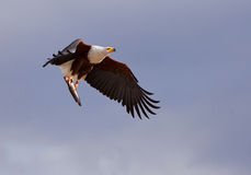 African Fish Eagle with prey. An African Fish Eagle (Haliaeetus vocifer) has caught a fish and carries it away to a safe place royalty free stock photos