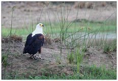 African Fish Eagle with Prey stock photo