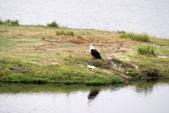African fish eagle on the river bank in Botswana stock photos