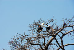 African fish eagle in the Rufiji River, Selous. Game reserve, Tanzania Royalty Free Stock Photo