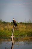 African Fish Eagle searches for prey in flooded marsh Stock Images