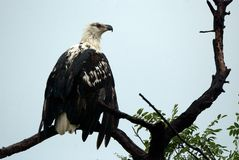 African fish eagle, Selous Game Reserve, Tanzania Stock Photo