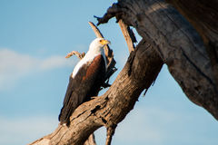 African Fish Eagle sitting on branch looking at camera. With blue sky background, side view stock image