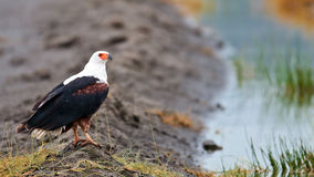 African fish-eagle sitting on the shore of Lake Royalty Free Stock Photography