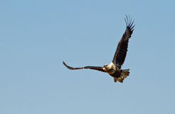 African fish eagle soaring Stock Image