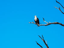 African fish eagle standing on dry tree branch with blue sky. African fish eagle standing still, on dry tree branch with blue sky looking left side Royalty Free Stock Image