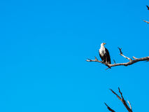 African fish eagle standing on dry tree branch with blue sky. African fish eagle standing still on dry tree branch with blue sky looking to right side Stock Images