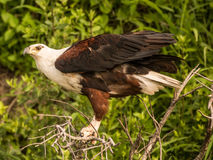 African Fish-Eagle. This sub-adult eagle was showing of its power Royalty Free Stock Photography