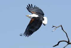 African Fish Eagle. An African fish eagle take off for a hunt of prey Stock Image