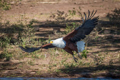 African fish eagle taking off from riverbank Royalty Free Stock Photo