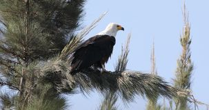 African fish eagle on tree branch. African fish eagle, haliaeetus vocifer, is perching on tree branch looking for prey in Awassa, Ethiopia, Africa stock video